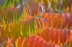 Nature background - staghorn sumac Royalty Free Stock Photography