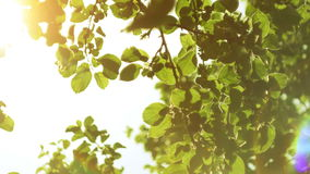 Nature background.Sun shines through the blowing on wind tree green leaves stock video footage