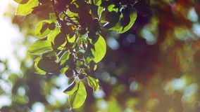 Nature background.Sun shines through the blowing on wind tree green leaves stock footage