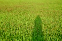 Female shadow on geen paddy field in the countryside with sun light and tropical forest royalty free stock images