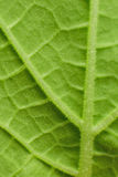 Nature background - texture of fresh green leaf close up Royalty Free Stock Image