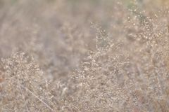 In selective focus brown wild grass flower blossom in a field. Nature background texture royalty free stock photo