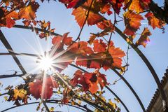 Against light of yellow and red grape leaves stock images
