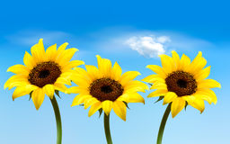 Nature background with three yellow sunflowers. Royalty Free Stock Photo