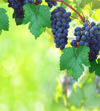 Nature background with vineyard Royalty Free Stock Photos