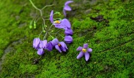 Nature background, violet flowers, purple petal. Wonderful nature background with beauty violet flowers on green moss background, abstract with close up of Stock Photos