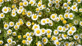 White Daisey Background. Nature background with White Daisy flowers royalty free stock images