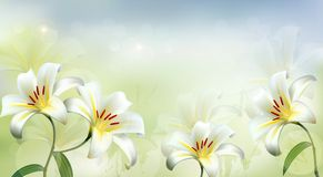 Nature background with white lilies. Royalty Free Stock Photography