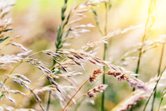 Nature background with wild grass Royalty Free Stock Images