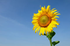 Nature background with yellow sunflower Royalty Free Stock Photography