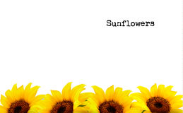 Nature Background With Yellow Sunflowers Stock Image