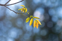 Nature backgrounds - back lit yellow leaves on blue background Stock Photo