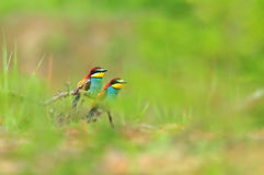 Nature backgrounds - photo of two colorful bee eaters Royalty Free Stock Image