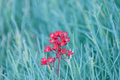 Nature backgrounds - red flower on blue background Royalty Free Stock Image