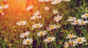Nature bakground. field of daisy flowers. small depth of field. softlight effect. Nature bakground. field of daisy flowers. small depth of field Stock Image