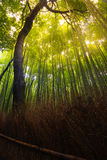 Nature bamboo forest Royalty Free Stock Photos