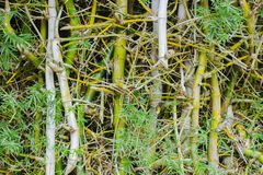 Nature Bamboo green. For background royalty free stock photo