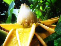 Nature. A  banana flower blooming in the jungle Royalty Free Stock Photos