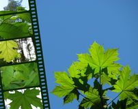 Nature banner. Nature design - fresh maple leaves and a film stripe Stock Photo