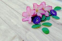 Adenium, pink desert rose and pea flower on wood background. Nature, beautiful, adenium, desert, rose, roses, plant, flora, tree, spa, garden, red, natural stock images
