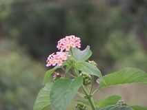 Nature Beautiful flower of Sri Lanka stock images