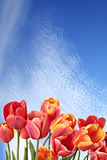 Nature. Beauty in nature. Beautiful tulip flowers on a background of blue sky Stock Photo
