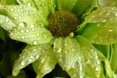 Nature beauty. Green goddess flower Stock Photo