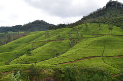 Nature beauty landscape with green tea plantation Royalty Free Stock Photography