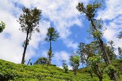 Nature beauty landscape with tea plantation and blue sky Stock Image