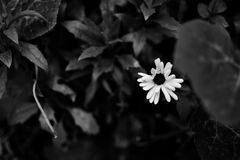 Black and white flower stock images