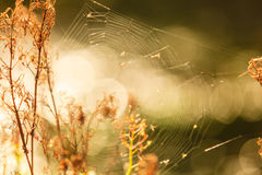 Nature beauty morning. Cobweb on dry grass. Royalty Free Stock Image
