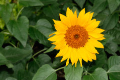 Nature beauty of single sunflower Royalty Free Stock Photography