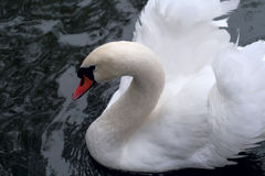 Nature beauty swan Royalty Free Stock Image