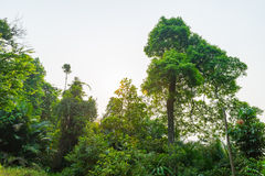 Nature Big Forest Trees. The nature of trees in Malaysia Royalty Free Stock Photo