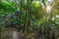 Nature Big Forest Trees. The nature of trees in Malaysia Stock Image