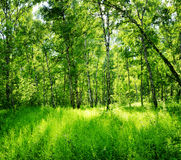 Birch forest on a sunny day. Spring landscape Stock Photos