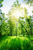 Birch forest on a sunny day. Green woods in summer. Spring landscape stock images