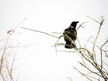 Black Bird. Bird on branch Royalty Free Stock Photo