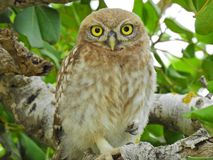 Beauty of nature. Owl royalty free stock image