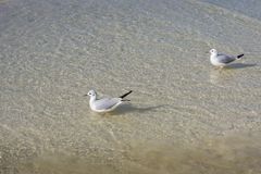 Nature of birds, sea gulls on the beach of the Persian Gulf Stock Image