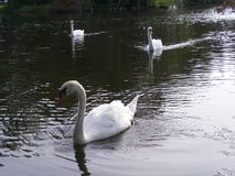 Nature-Birds-Swans Swimming in a River Royalty Free Stock Photo