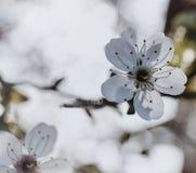 nature blanche de cerisier de lumière du soleil de fleur de couleur de fleur Image stock