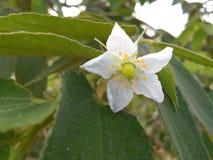 Talok flower stock image