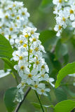 Nature blooming bird-cherry tree Royalty Free Stock Photography