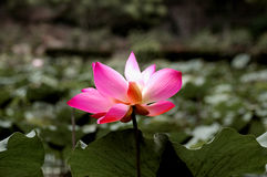 Nature blooming lotus flower. Pink lotus flower blooming in pond Royalty Free Stock Photo