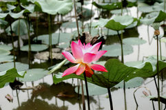 Nature blooming lotus flower. Pink lotus flower blooming in pond Stock Photography