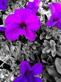Nature. Blooming Purple flowers pop of Stock Image