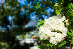 Nature. Bloosoming white flowers of rowan tree Stock Photography