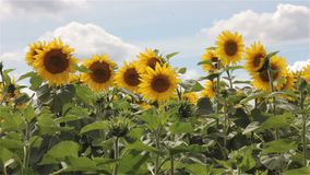 Sunflowers In The Wind. stock video