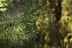 Nature, bokeh, branch, spruce,Spruce tree stock photo